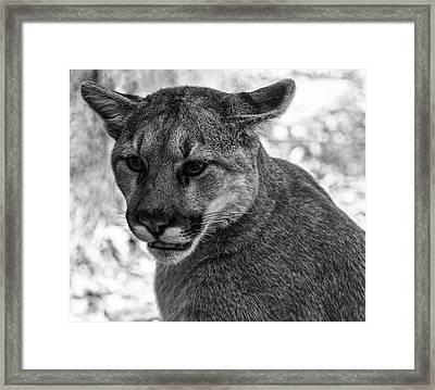 Mountain Lion Bw Framed Print by Chris Flees