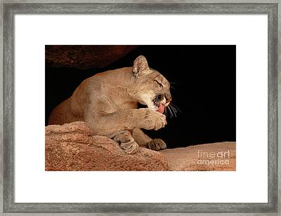 Mountain Lion In Cave Licking Paw Framed Print by Max Allen