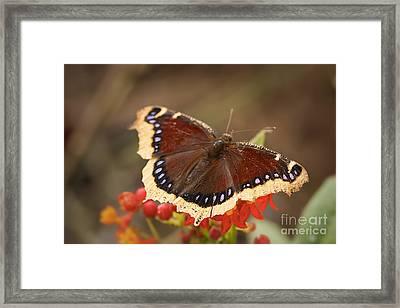 Mourning Cloak Butterfly Framed Print by Ana V  Ramirez