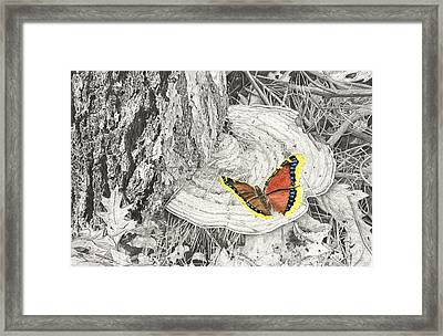 Mourning Cloak Framed Print by Don Macmillan