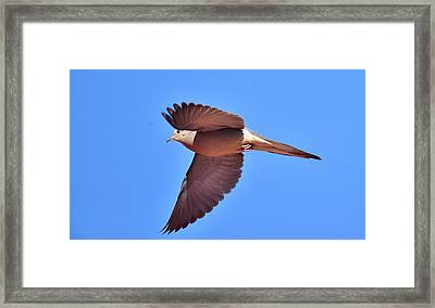 Mourning Dove Inflight 1 Framed Print by Linda Brody