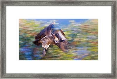 Moving Vulture Framed Print by Basie Van Zyl