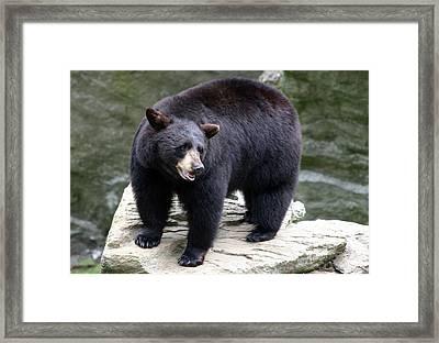 Mr Bear Framed Print by Karol Livote