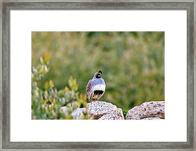 Mr. Gambel Framed Print by Scott Pellegrin