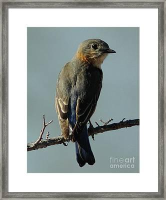 Mrs. Bluebird Framed Print by Robert Frederick