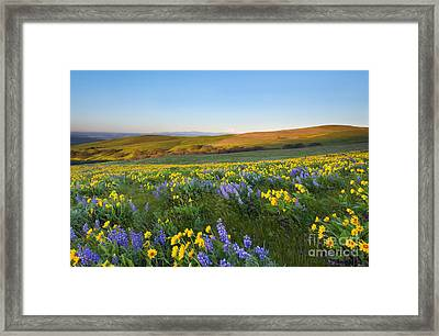Mt. Hood Wildflower Morning Framed Print by Mike Dawson
