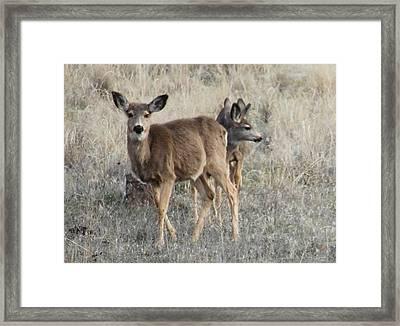 Mule Deer 1  Framed Print by Linda Meyer