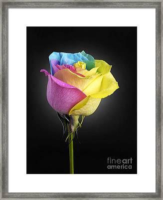Rainbow Rose 1 Framed Print by Tony Cordoza