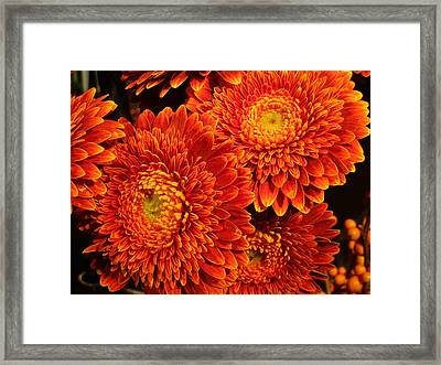 Mums In Flames Framed Print by Rosita Larsson
