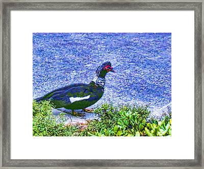Muscovy Duck 2 Framed Print by Lanjee Chee