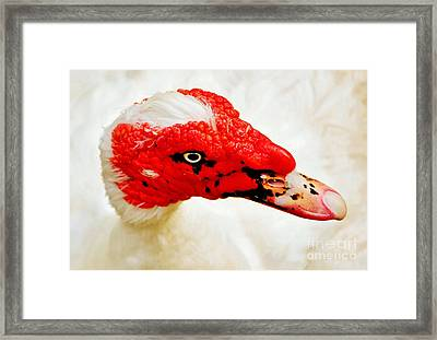 Muscovy Duck Framed Print by Kaye Menner