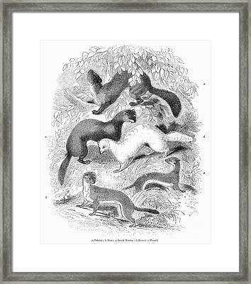 Mustelidae Family, 1841 Framed Print by Granger