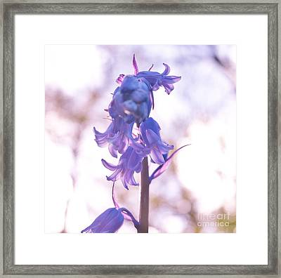 Muted Bluebell Framed Print by Richard Brookes