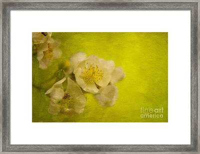 My Sweet Wild Rose Framed Print by Lois Bryan