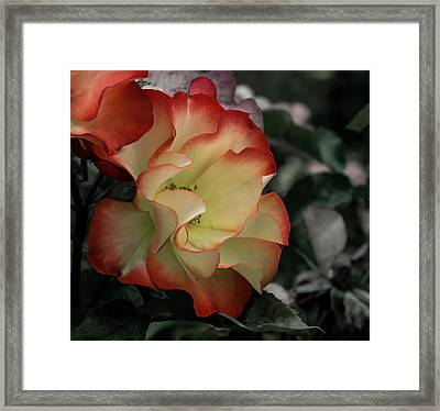 Mysterious Rose Framed Print by Jean Noren