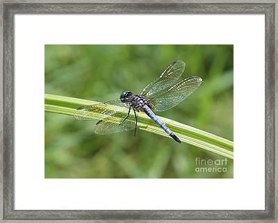 Nature Macro - Blue Dragonfly Framed Print by Carol Groenen