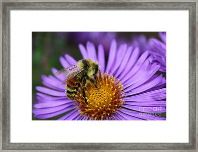 New England Aster And Bee Framed Print by Steve Augustin