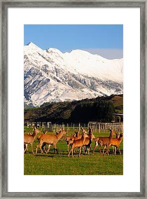New Zealand Deer 3497 Framed Print by PhotohogDesigns