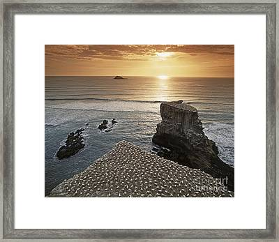 new zealand gannet colony at muriwai beach ,gannet fly from Muri Framed Print by Juergen Held