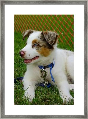 Nine Week Old Australian Shepherd Pup Framed Print by Paul Wash