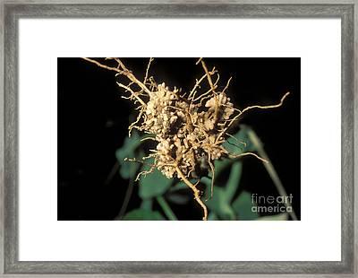 Nitrogen-fixing Nodules On Pea Roots Framed Print by John Kaprielian