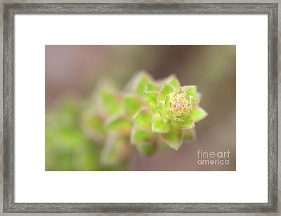 Nodding Pinweed I Framed Print by Clarence Holmes