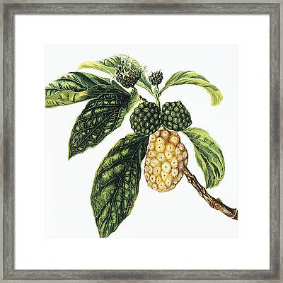 Noni Fruit Framed Print by Hawaiian Legacy Archive - Printscapes
