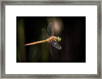 Norfolk Hawker Dragonfly Framed Print by Ian Hufton
