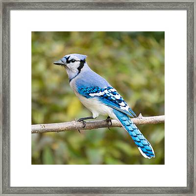 North American Blue Jay Framed Print by Jim Hughes