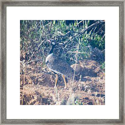 Northern Black Korhaan Framed Print by Dave Whited