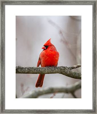 Northern Cardinal 2016 Framed Print by Bill Wakeley