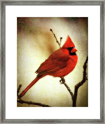 Northern Cardinal Framed Print by Lana Trussell