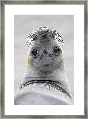 Northern Elephant Seal Looking Back Framed Print by Ingo Arndt