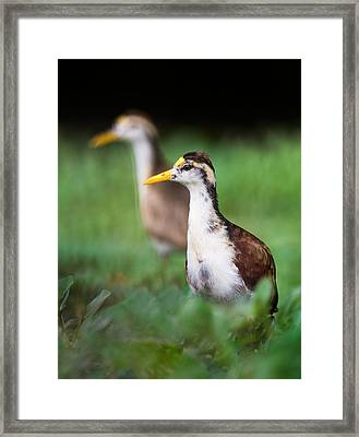 Northern Jacana Jacana Spinosa Chicks Framed Print by Panoramic Images