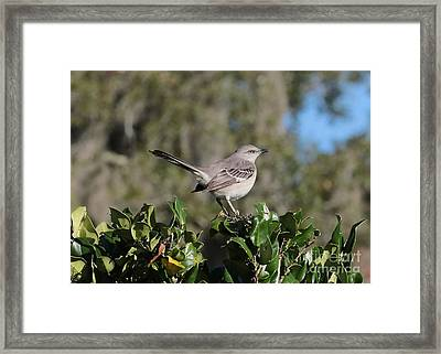 Northern Mockingbird Framed Print by Carol Groenen