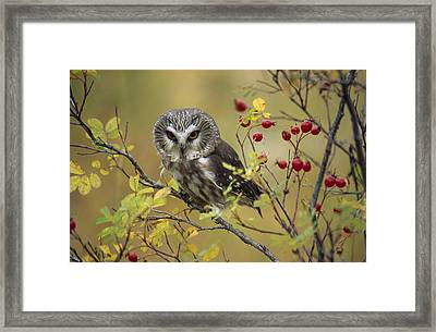 Northern Saw Whet Owl Perching Framed Print by Tim Fitzharris