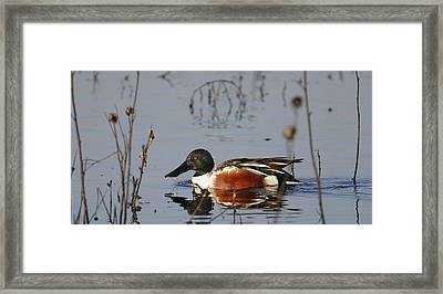 Northern Shoveler Framed Print by Andrew Johnson