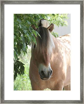 Norwegian Fjord Horse In The Shade Framed Print by Laurie With