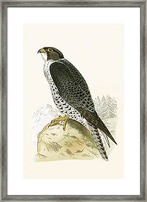 Norwegian Jer Falcon Framed Print by English School
