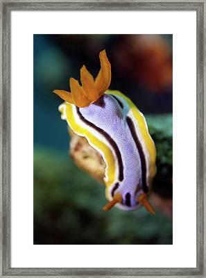Nudibranch Framed Print by Rico Besserdich