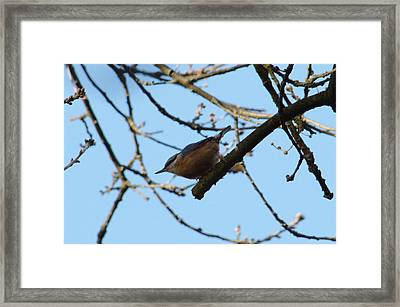 Nuthatch Poised Framed Print by Adrian Wale