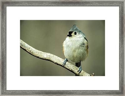 Titmouse Thinking About Weighty Matters Framed Print by Douglas Barnett