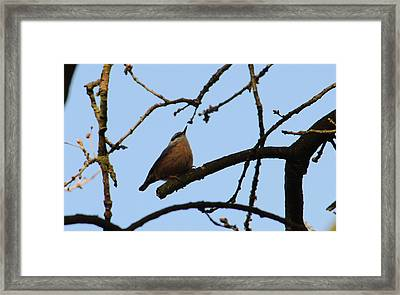 Nuthatch With Head High Framed Print by Adrian Wale