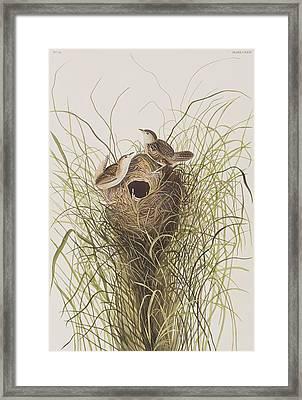 Nuttall's Lesser-marsh Wren  Framed Print by John James Audubon