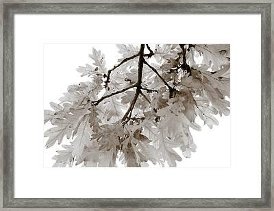Oak Leaves Framed Print by Frank Tschakert