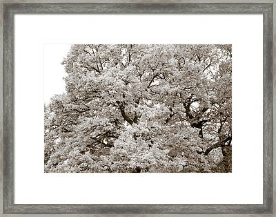 Oaks Framed Print by Frank Tschakert