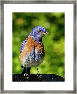 Obese Bluebird Framed Print by Jean Noren