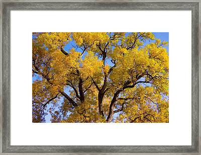 Old Giant  Autumn Cottonwood Framed Print by James BO  Insogna