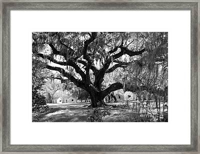 Old Plantation Tree Framed Print by Melody Jones