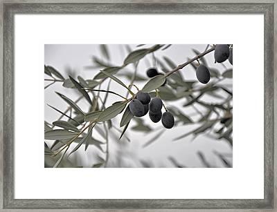 Olive Branch Framed Print by Damijana Cermelj